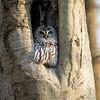 Barred-Owl-26 Feb 2017-7909