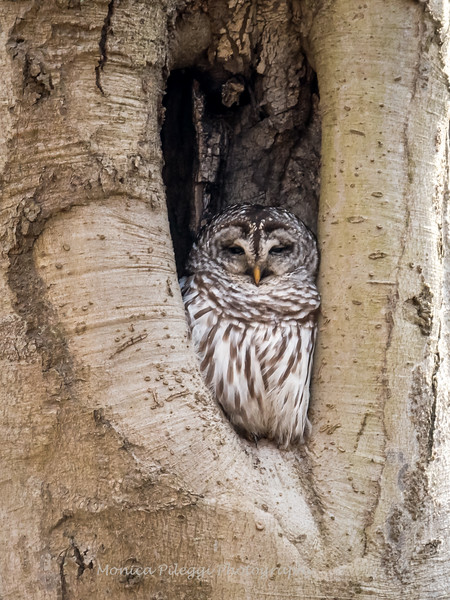 Barred-Owl-26 Feb 2017-7701