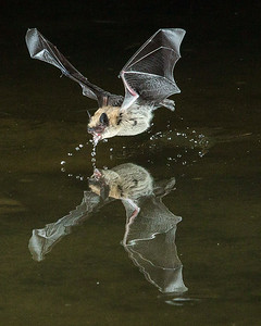 Pallid Bat Drinks