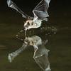 Pallid Bat Drinks