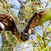 Flying Fox - Fruit Bat