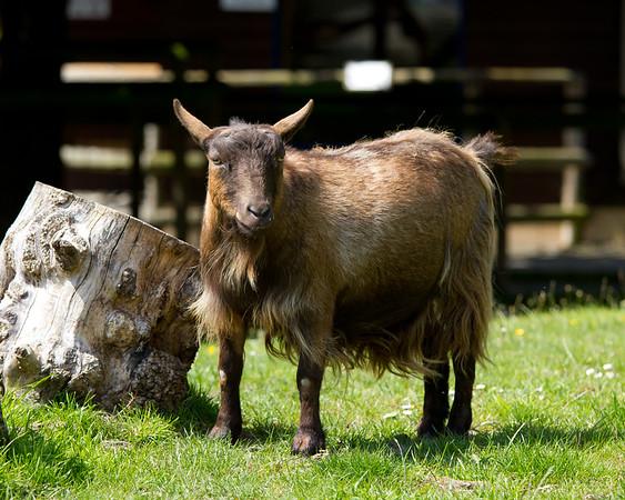 Pygmy Goat