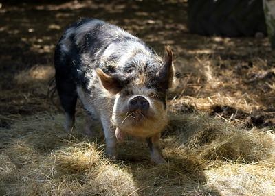 Kune Kune Pig