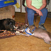 """Bear has a """"play date"""" with a friends dog."""