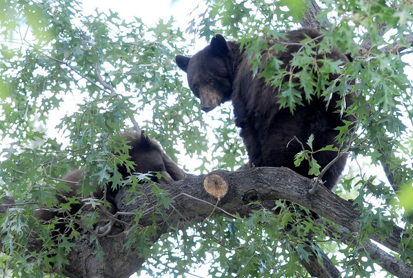 """A mother black bear and her cub spent much of the day in a tree in Chautauqua Park on October, 3, 2012. For more photos and a video, go to  <a href=""""http://www.dailycamera.com"""">http://www.dailycamera.com</a>.<br /> Cliff Grassmick  / October 3, 2012"""