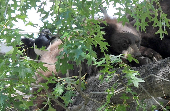 """A magpie lands on a bear cub in a tree with its mother.<br /> A mother black bear and her cub spent much of the day in a tree in Chautauqua Park on October, 3, 2012. For more photos and a video, go to  <a href=""""http://www.dailycamera.com"""">http://www.dailycamera.com</a>.<br /> Cliff Grassmick  / October 3, 2012"""