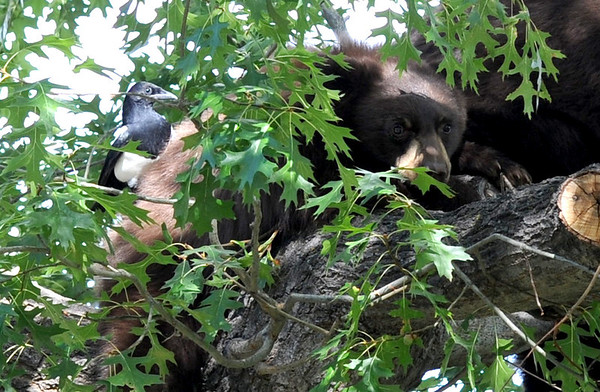 "A magpie lands on a bear cub in a tree with its mother.<br /> A mother black bear and her cub spent much of the day in a tree in Chautauqua Park on October, 3, 2012. For more photos and a video, go to  <a href=""http://www.dailycamera.com"">http://www.dailycamera.com</a>.<br /> Cliff Grassmick  / October 3, 2012"