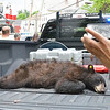 After a bear cub estimated to be one-and-a-half years old and 125 pounds was tranquilized, Massachusetts Environmental Police Officer William Woytek allowed spectators to quietly walk by the bear to take photos. SENTINEL & ENTERPRISE / Ashley Green