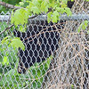 A bear cub estimated to be one-and-a-half years old and 125 pounds perched itself in a tree on Nashua Street after Fitchburg police had been chasing the bear throughout the city for a few hours. SENTINEL & ENTERPRISE / Ashley Green