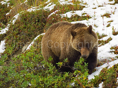 Grizzly looking for food - 9/2/12
