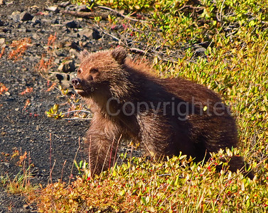 Grizzly cub in Denali - 9/1/12