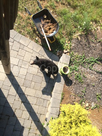 Bear at our house
