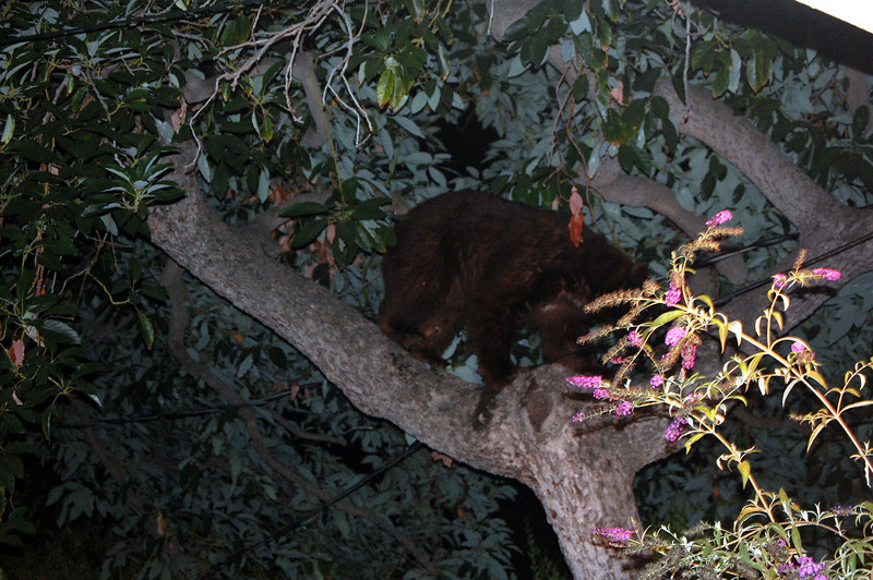 Bear  chased up the tree by our Fiona
