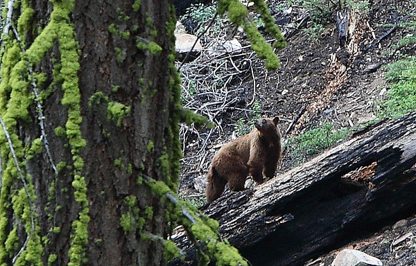 Bear at Yosemite