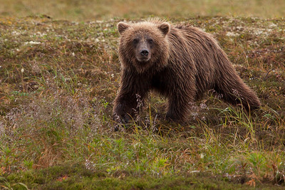 Young Grizzly Bear on his own