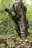 Black bear cub on tree