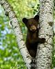 Cub posing in birch