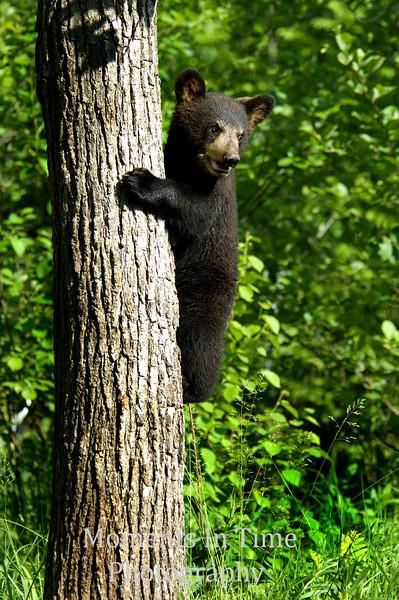 Black bear cub on tree