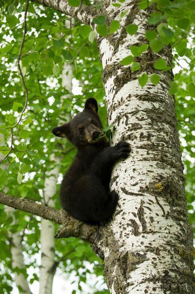Bear cub munching leaves V