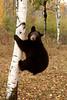 Cinnamon bear on birch