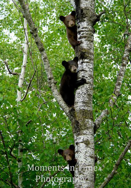 Bear cub trio best unsized ph