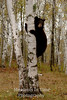 Bear cub autumn birch