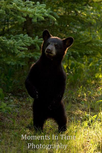 Black cub walking