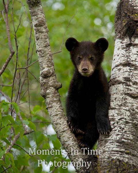 Bear cub posing in tree
