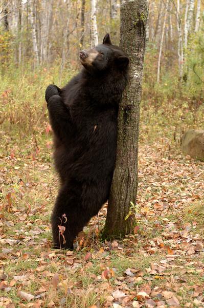 Bear back scratcher