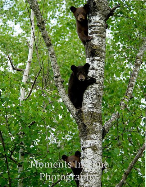 Three cubs on birch tree