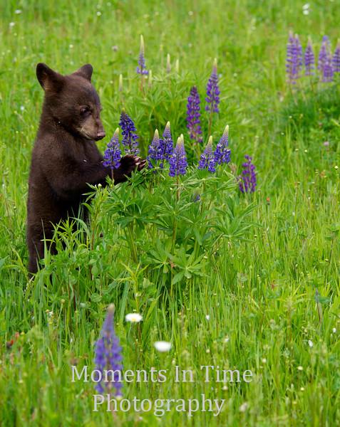 Bear cub in lupine