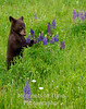 Bear cub in lupine