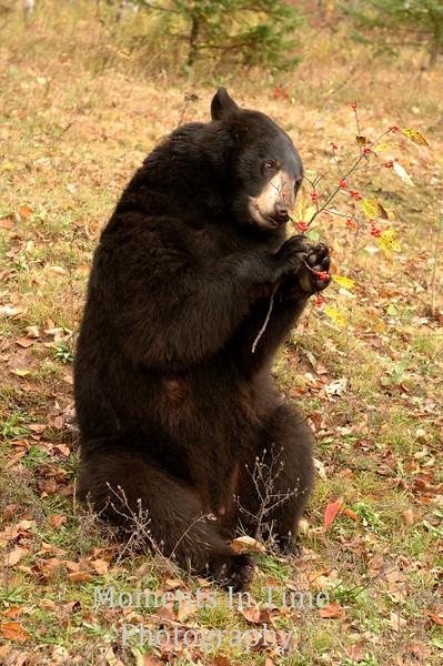 Bear with berries
