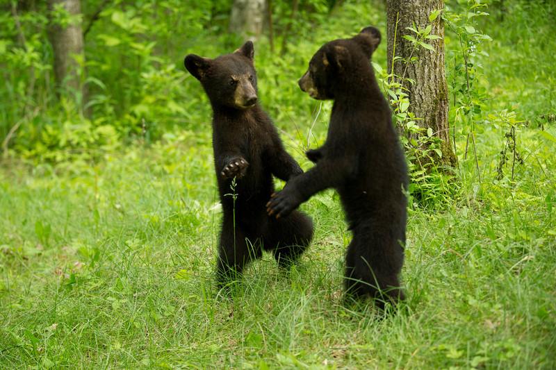 bear black (Ursus americanus)