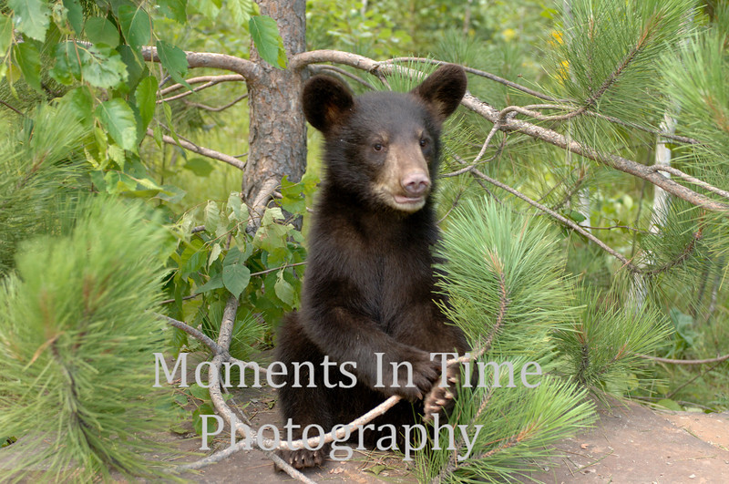 Bear cub in pine tree