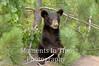 Bear cub in pine tree