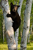 Young cub on birch v