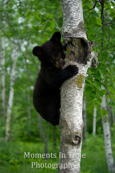 Young bear chewing bark
