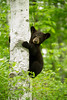 Bear cub climbing V