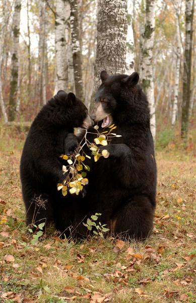 Bear with cub autumn leaves