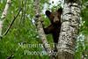 Brown bear peeking through branches