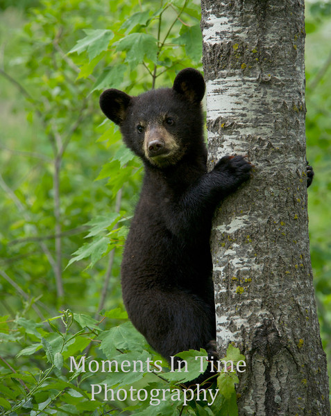 Black bear cub climbing