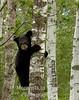 Black bear cub on birch