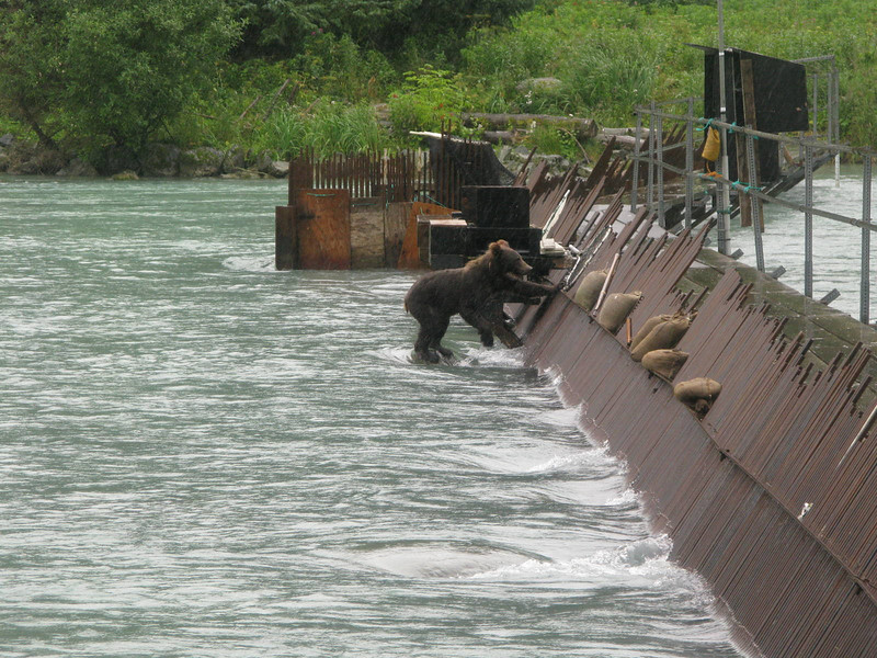 Young bear using salmon counting weir