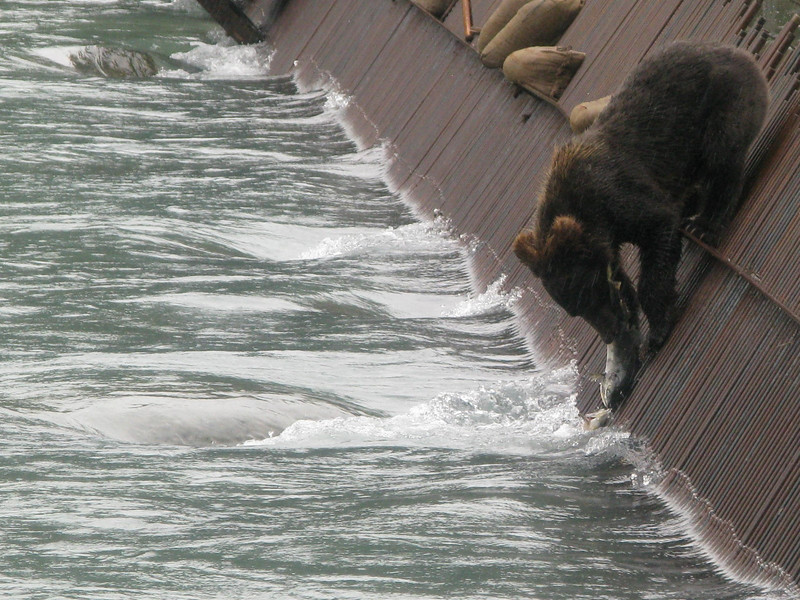 The weir is a convenient source of salmon for this young bear. Too convenient, because the weir (used in a salmon counting project) is only temporarily at this location.