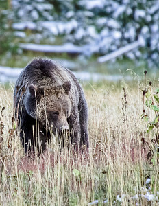 Late Fall Grizzly looking for roots to fatten up for winter hibernation.