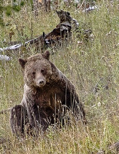 Sitting Grizzly