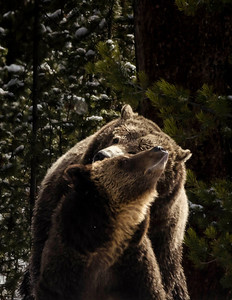 Courting Grizzlies