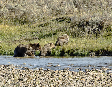 A grizzly Sow with Coy along the Lamar River, Yellowstone Park.