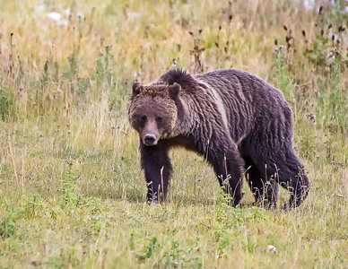 Grizzly coming my way.